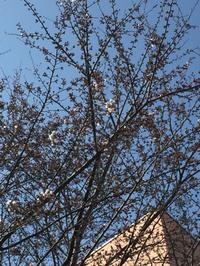 桜  3分咲き
