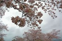 今年の桜・・・!