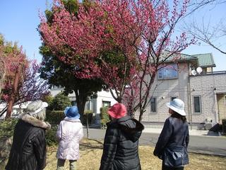 ♪梅は咲いたか、桜はまだかいな?