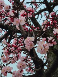 杏の花が咲き始めました。