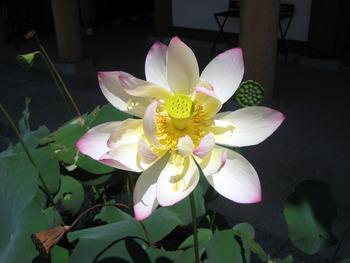 蓮の花 ♪