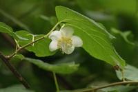 木天蓼の花