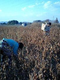 和綿収穫中