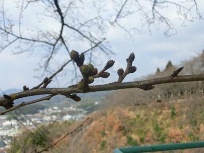 安芸津の桜開花情報 3月28日の様子
