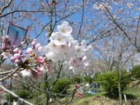 安芸津の桜 開花しました