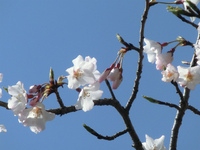 安芸津の桜開花 お花見弁当承ります