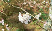 安芸津の海が見える桜!開花しました