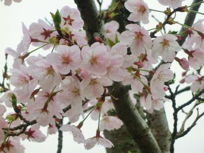 安芸津の海が見える桜!満開です