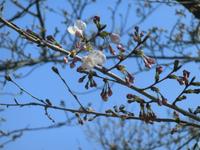 安芸津の桜情報! 開花しました