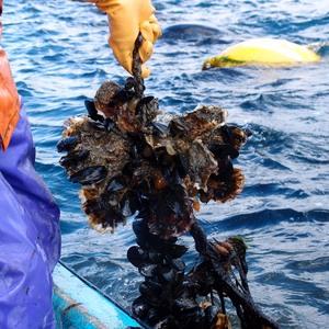 大船渡 牡蠣づくりの技を見に行く