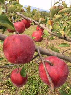 国産有機りんごの産地訪問