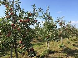今年も有機りんごの産地、青森へ。