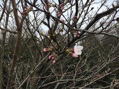 桜の開花宣言【センナリ】