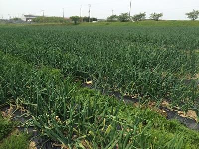 有機玉葱の産地へ。