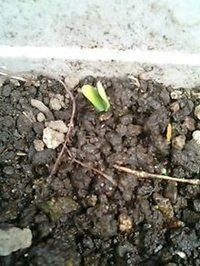 『ひょうたんの芽が、出た』