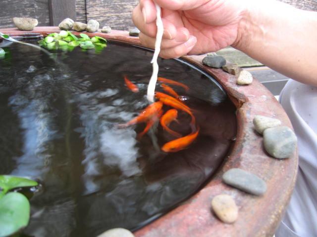 猛暑、、金魚は無事でした(^-^)