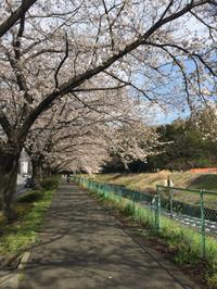 桜満開かな