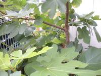 イチジクの挿し木が大きくなってきました。