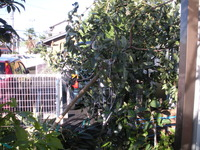 根性渋柿、風でダウンしました。