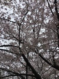 お花見(*^o^*)